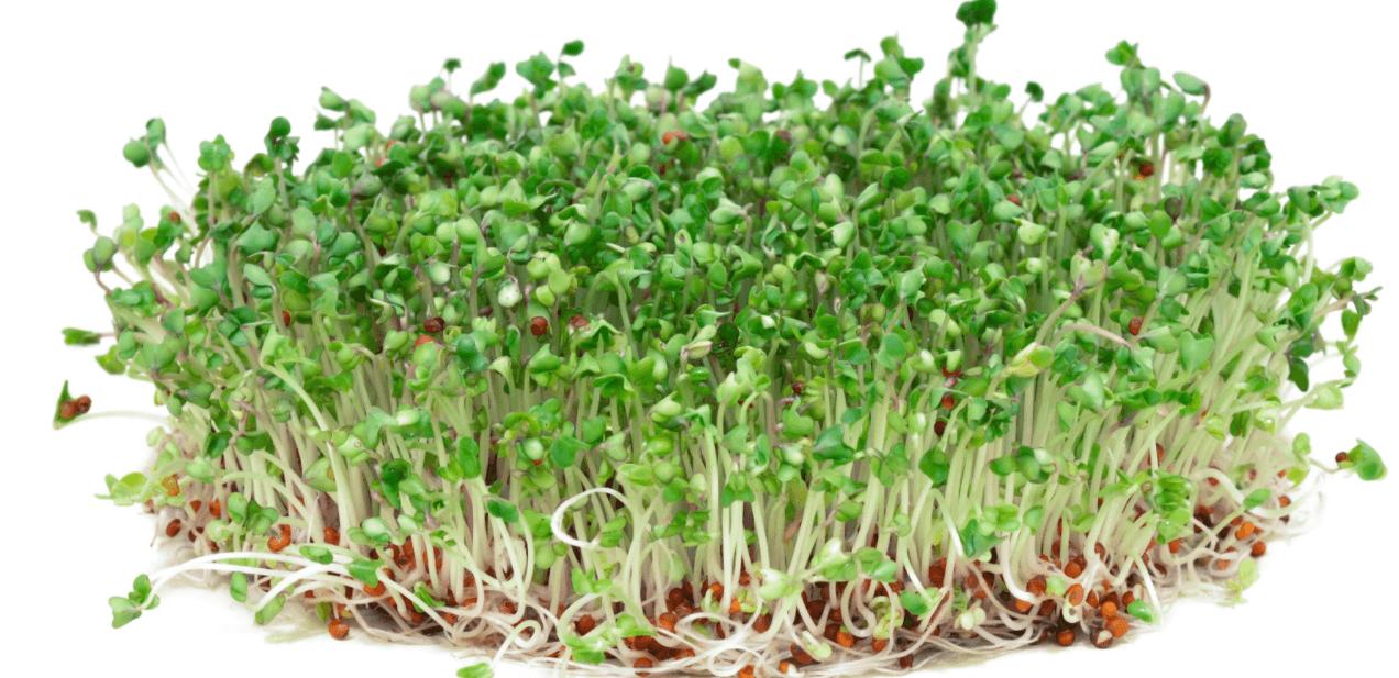 Brócolos Germinados Com Rebentos