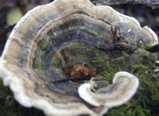 Cogumelo Coriolus Versicolor (Turkey Tail)