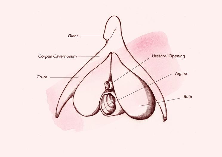 Anatomia De Clitóris Interno
