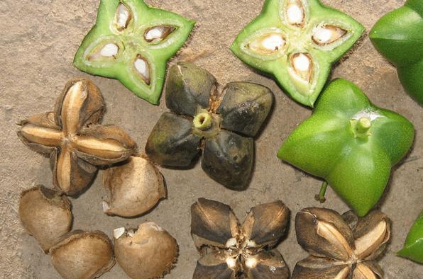 Planta Sacha Inchi De Nome Científico Plukenetia Volubilis