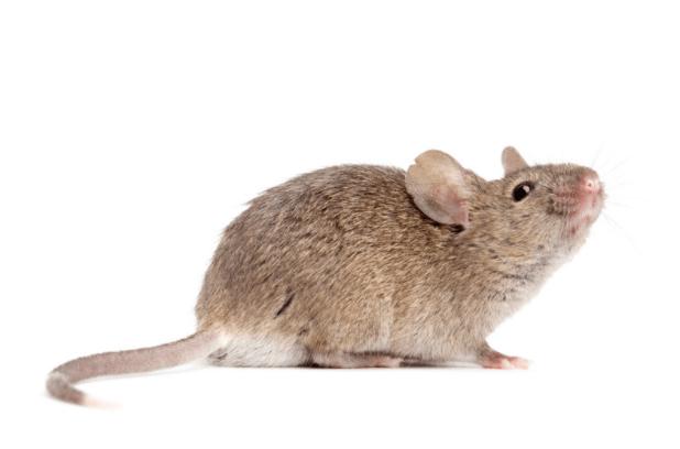 Hantavirose (Infecção Por Hantavírus) Como Prevenir Esta Doença Transmitida Por Roedores