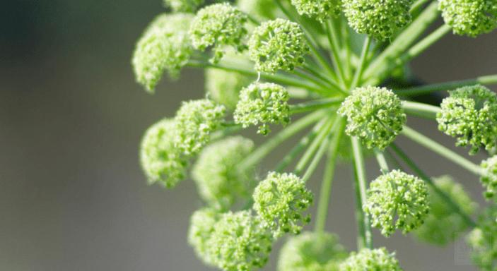 Planta Medicinal Angelica Archangelica