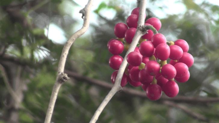 Tinospora Cordifolia (guduchi)