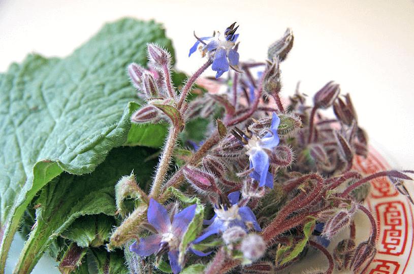 Como Fazer Chá De Borragem, Com As Folhas E Flores Da Planta Borago Officinalis