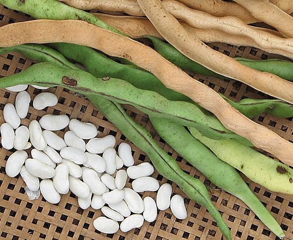 Feijão Branco Phaseolus Vulgaris