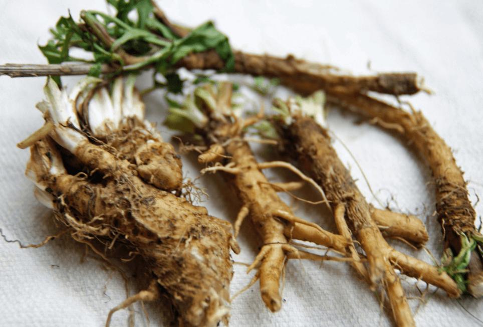 Raiz De Chicória é Uma Planta Rica Em Inulina