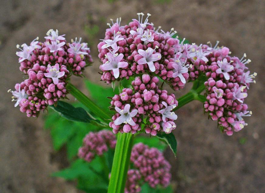 Foto Da Planta Valeriana Officinalis