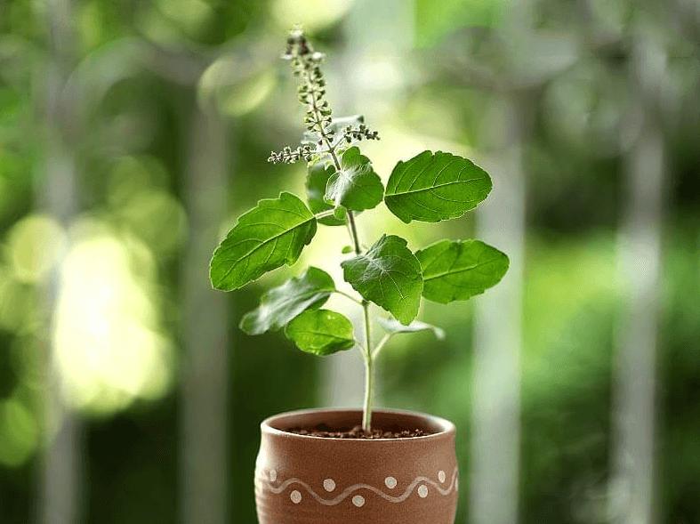 5 Efeitos colaterais do Manjericão-Sagrado, Tulsi (Ocimum tenuiflorum) que Precisa Conhecer