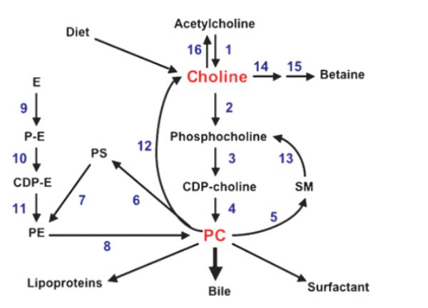 Caminho Da Fosfatidilcolina E Da Colina