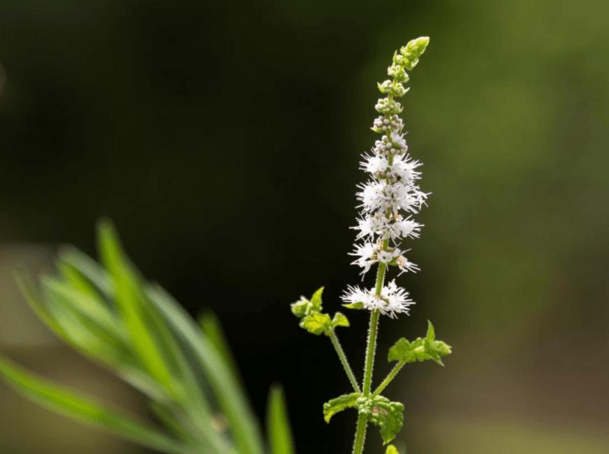 9 Benefícios da Erva-de-São-Cristóvão e Efeitos Colaterais