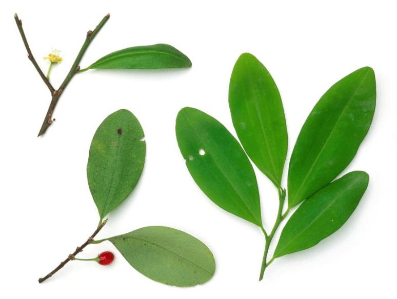 Folhas Da Planta De Coca (Erythroxylum Coca)