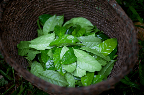 Folhas Da Planta Guayusa,Ilex Guayusa