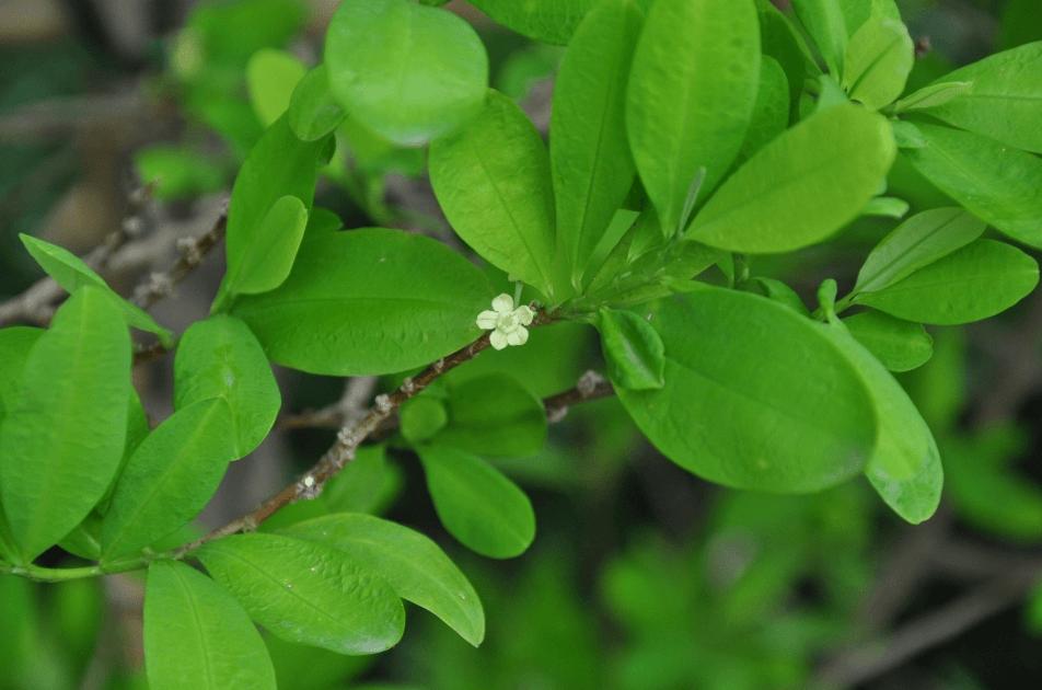 Planta De Coca (Erythroxylum Coca)