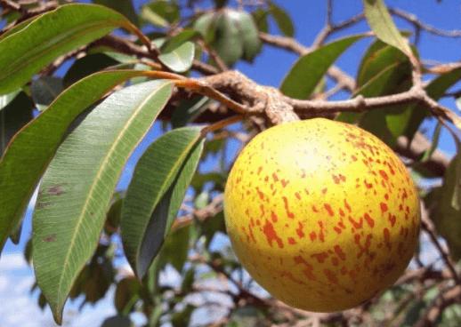Mangaba, Hancornia Speciosa