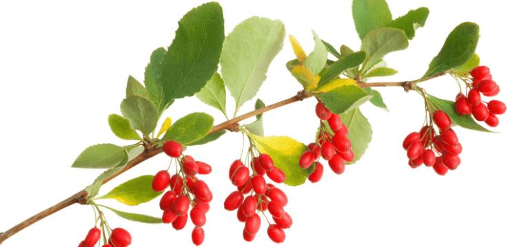 Berberina, 30 Boas Razões Para Consumir Este Suplemento Medicinal, Encontrado Em Várias Ervas, Incluindo Goldenseal, E Uva De Oregon