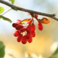 Conheça Os Mais De 30 Benefícios Da Berberina, Um Alcalóide Extraído Da Berberis Vulgaris, Hydrastis Canadensis Etc