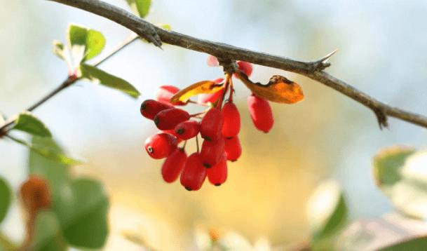Berberina: conheça os 20 benefícios e como usar