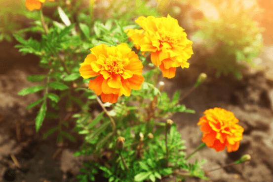 Flores DeTagetes (Cravos De Defunto)
