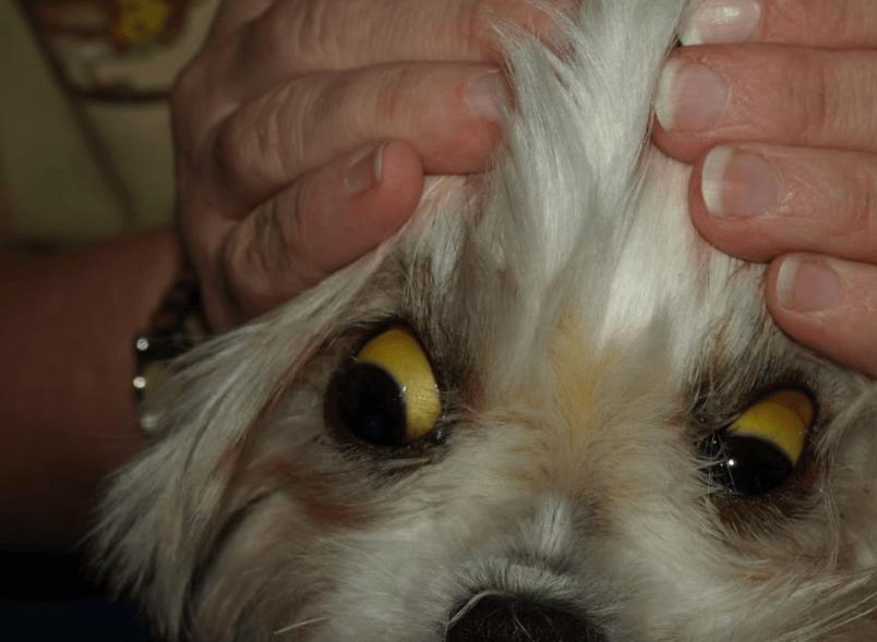Icterícia é Um Sintomasda Leptospirose Em Animais, Cães E Gatos