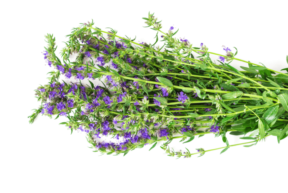 Os 25 Benefícios Do Hissopo: Para Que Serve, Usos Medicinais e Culinários