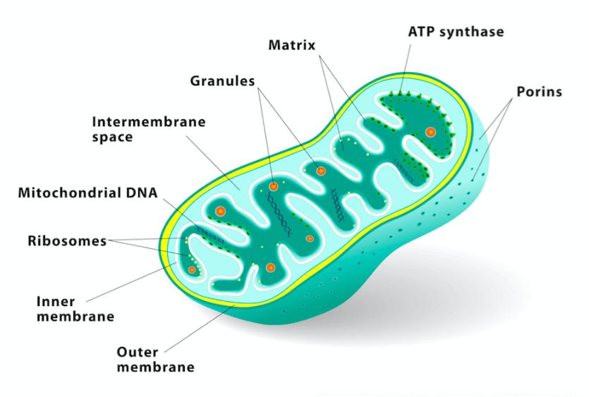 33 Tratamentos Naturais para Melhorar a Função das Mitocôndrias