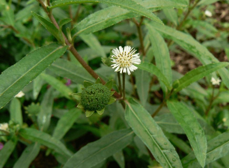 Eclipta Alba, Também Conhecida Como Bhringra, é Uma Planta Medicinal Maravilhosa