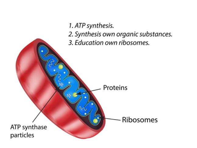 Função Das Mitocôndrias