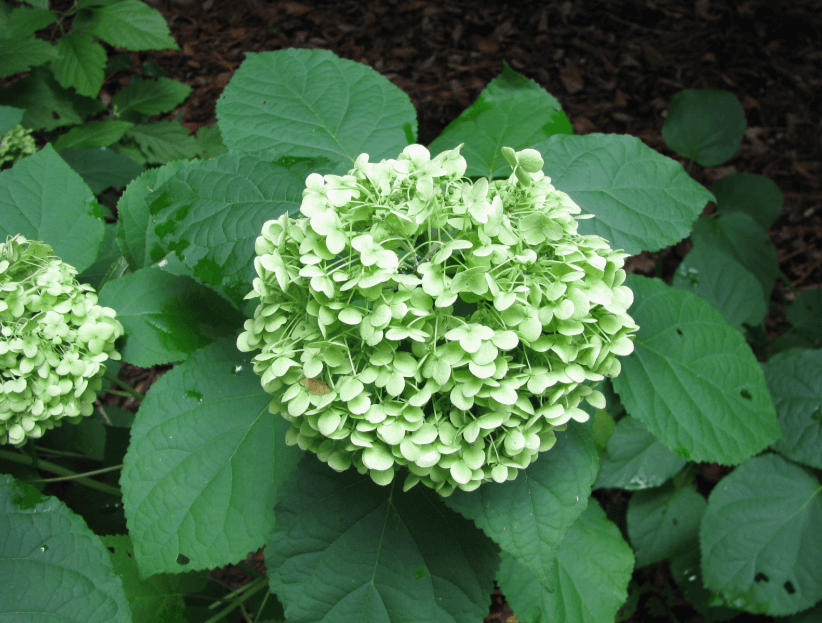 Hortênsia Da Espécie Hydrangea ArborescensL.
