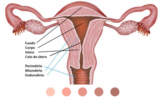 O Útero: o que é, função, anatomia e camadas de tecidos