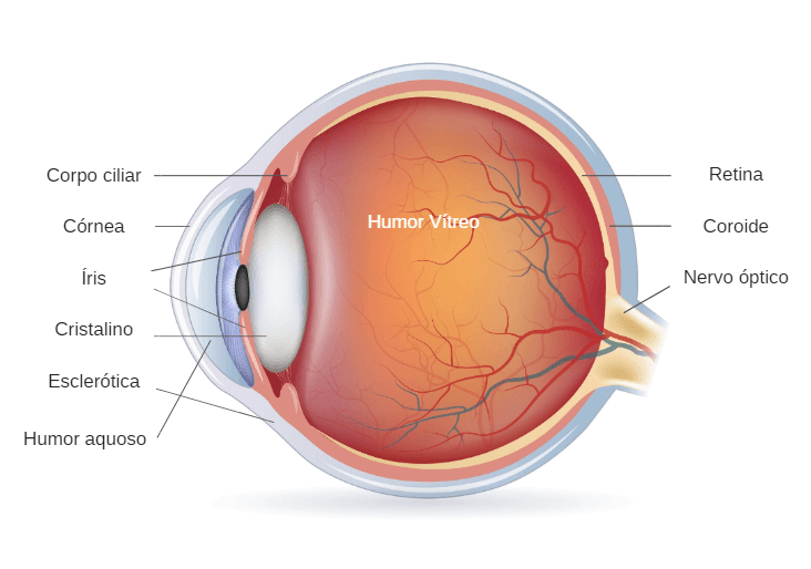 Anatomia e estrutura do olho humano e suas funções