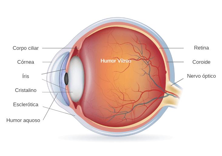 Estrutura E Anatomia Do Olho Humano