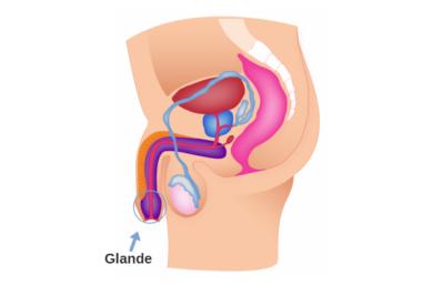 Foto Que Mostra A Localização Da Glande Do Pênis
