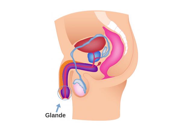 Glande do pênis – o que é e quais as doenças mais comuns