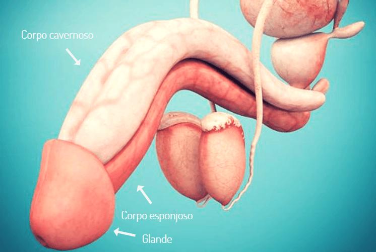 Pênis: Curiosidades e as principais doenças e problemas que afetam o órgão